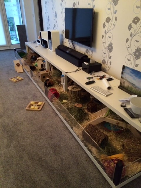 Really Big Guinea Pig Enclosure Using 5 Lack Coffee Tables