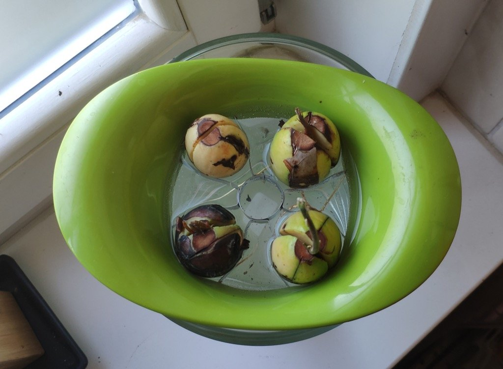 avocado seed sprouting IKEA hack