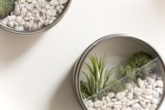 airplant in spice container